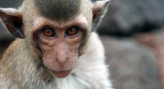 Новости генетики РАС:  В Шанхае путём генного модифицирования получены обезьяны с симптомами аутизма